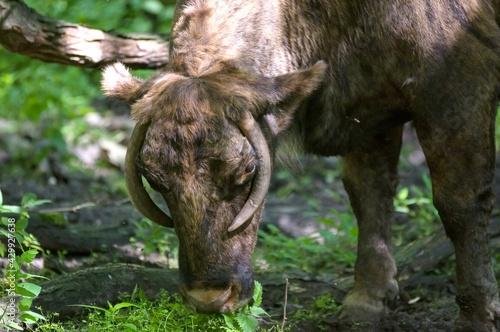 Głowa bawoła byk  z dużymi rogami - fototapety na wymiar