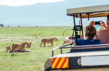 Two Lionesses With Zebra-pray Meat Remainings And Lion Cubs. Safari Vehicle Passengers Taking Photos Of Animals. Ngorongoro Crater Conservation Area, Tanzania. Naturally Animals Habitation In Africa
