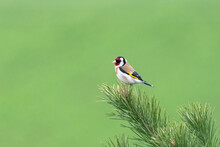 Colorful Bird On Blurry Green Background Goldfinch (Carduelis Carduelis) On A Fir Branch