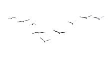 A Flock Of Seagulls In Flight Isolated On A White