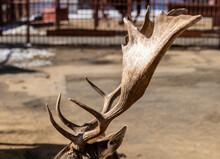 Deer Antlers At The Zoo.