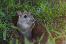Close Up Of A Field Mouse Eating Grass