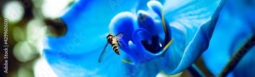 Obraz Korzystanie z darów natury, pszczoła, kwiat, niebieski storczyk - fototapety do salonu