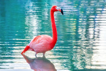 Beautiful Flamingo Bird In A Park Pond