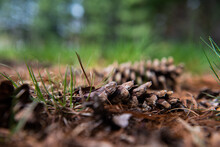 Two Pine Cones Lay On The Forest Floor.