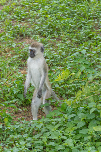 Fototapeta premium Vervet monkey is looking for feed in Tarangire national park