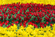 Line Of Red Tulips Amidst Two Yellow Lines. Yellow And Red Tulips Are Blooming In The Spring In The Netherlands