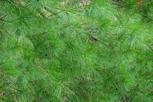 Green Pine Needles On Tree Budding In Early Spring