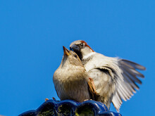 2 Sparrows Copulate On A Roof And The Sky Is Blue
