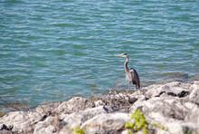 Great Egret Flying Over Blue Lake.