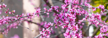 Panorama Closeup Of Eastern Redbud Flowers In Bloom On A Branch