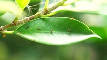 A Group Of Small Ants Or Insects Exploring The Area On The Small, Dark Green Leaves. To Build Their Nest