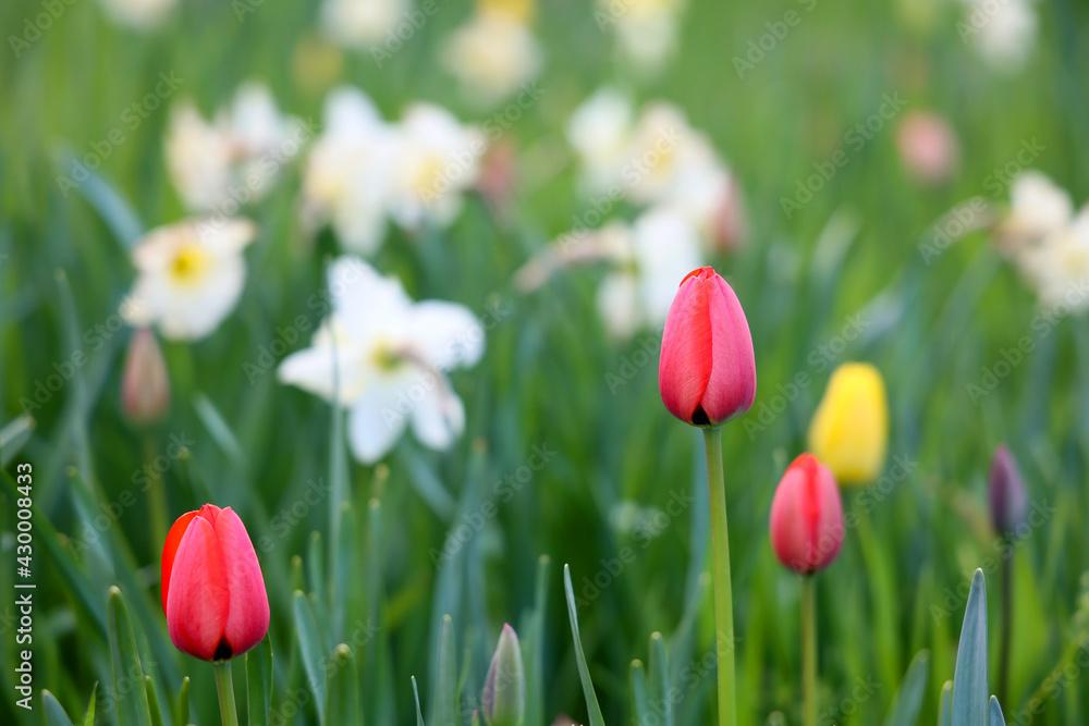 Fototapeta Czerwony piękny tulipan na zielonej łące.