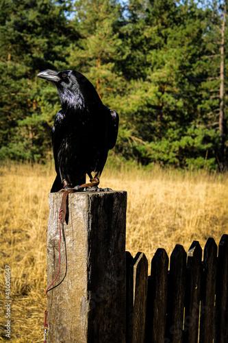 Fototapeta premium raven