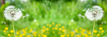 Green Field With Dandelions And Yellow Flowers. Landscape Summer Spring Flowers Dandelion. Beautiful Summer Flower Background In Meadow In Beauty In Nature