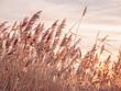 Leinwandbild Motiv Reeds during Sunset