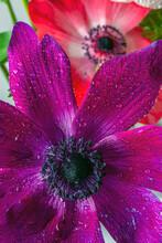 Cosmos Bipinnatus, Commonly Called The Garden Cosmos