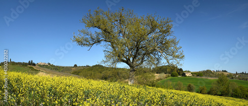Fototapeta premium Tuscan landscape with isolated tree in a field of yellow canola flowers and stunning blue sky. Beautiful Tuscan landscape near Castellina in Chianti, (Siena). Italy