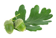Two Green Acorn Fruits With Green Leaf Isolated On A White Background