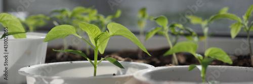 Tela Green seedlings of sweet pepper growing in flowerpots at window