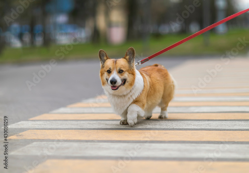 Fototapeta premium funny puppy corgi dogs on a leash correctly cross the road at a pedestrian crossing in the city