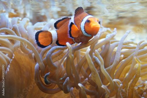 Obraz na plátne Pesce pagliaccio - zoo di zurigo