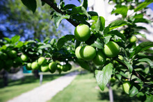 Glossy, Green Leaves And Plums Growing Along The Tree Branches In Spring. Fruitful, Green Plum Tree.