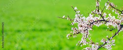 Kwiaty, drzewo, wiosna - fototapety na wymiar