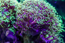 Green Star Polyps In Our Aquarium