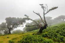 The Laurisilva Forest Fanal, Madeira, Portugal, Europe.