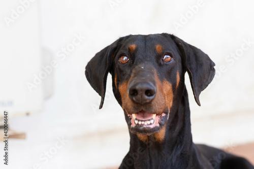 Closeup of a black dobermann dog inside a room Fotobehang