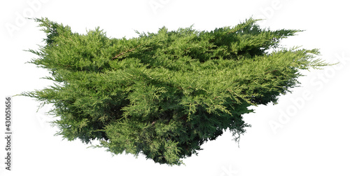 Valokuva Juniper shrub, isolated plant on white background