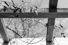 Vine With Seedpods On A Wood Trellis; High Contrast Black And White Image