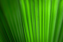 Pacifica Or The Fiji Fan Palm Leaves With Beautiful Pattern Surface Texture