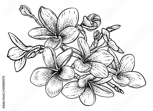 Fototapeta Tropical Plumeria Frangipani Bali Flower Woodcut obraz
