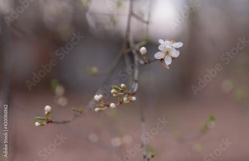 Subtelne tło wiosenne z białym kwiatuszkiem i rozwijającymi się pączkami na dzrewie - fototapety na wymiar