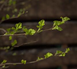 Krzew pęcherznicy kalinolistnej Physocarpus opulifolius rozwijający się wiosną. Nowe, młode listki.