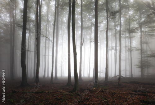 Misty landscape with fir forest at mist, Foggy trees