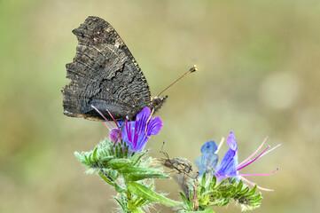 Inachis io. Paon du jour les ailes fermées sur une fleur. Jardin des plantes de Rouen. Normandie, Seine-Maritime. France
