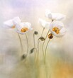 Mak polny Bridal Silk – biały ( Papaver rhoeas )