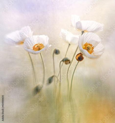 Mak polny Bridal Silk – biały ( Papaver rhoeas ) - fototapety na wymiar