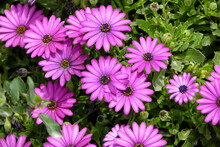Closeup Of Beautiful Purple African Daisies Blooming At A Garden