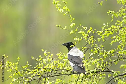 Fototapeta Hooded crow (Corvus corone cornix) perched on a branch of silver birch (Betula p