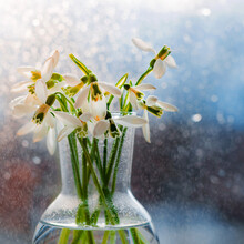 Beautiful Bouquets Of Snowdrops In Glass In The Rays Of The Spring Sun On The Windowsill With Flying Drops Of Water.