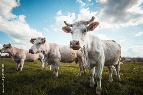Vászonkép trois vaches blanches charolaises dans la prairie