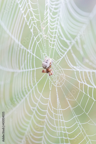 Fotografie, Tablou Spider with white abdomen in the middle of the web.
