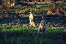 Kangaroo Of Northern Australia