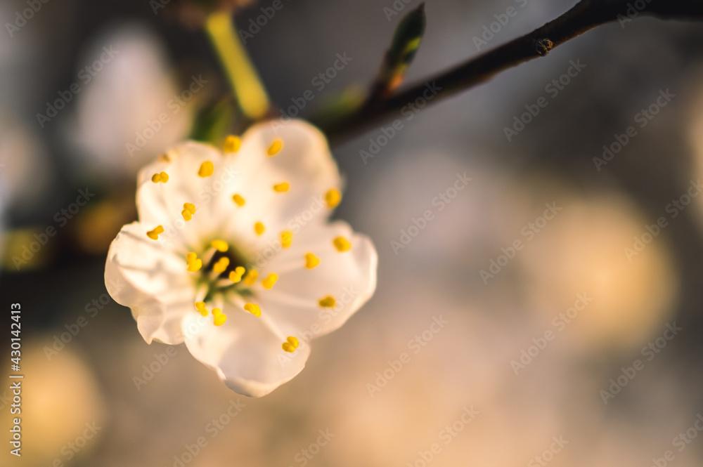 Fototapeta wiosenne kwitnące drzewa owocowe