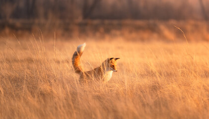 A red furry fox watches its prey in the dry grass