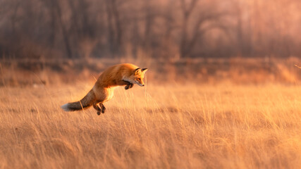 Red furry fox in a jump for prey in a dry yellow field